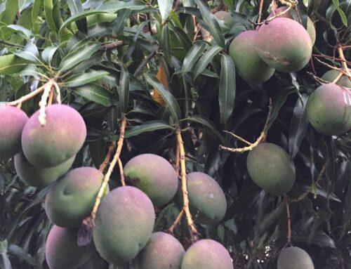 初デートとハワイのマンゴー。